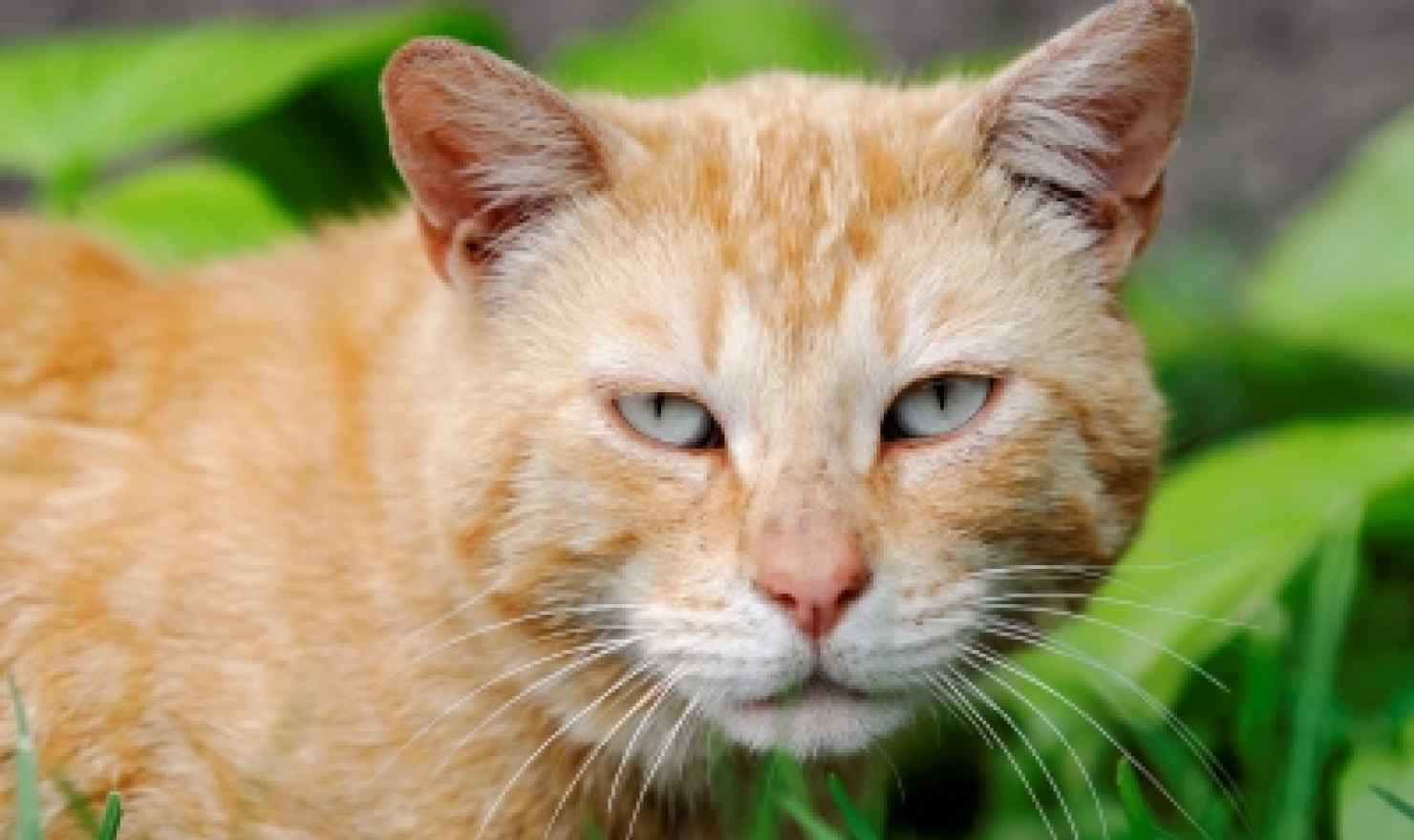 Cats increase risk of glaucoma